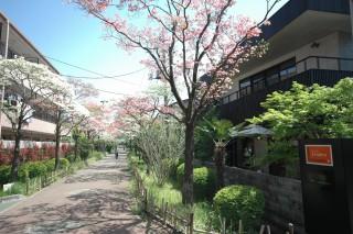 ハナミズキ遊歩道の花水木が満開です。