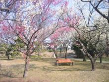 大宮公園 梅まつり