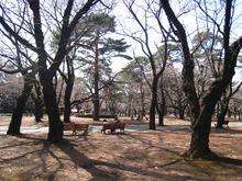 大宮公園 桜開花情報