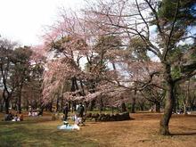大宮公園 桜開花情報2