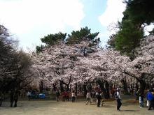 大宮公園 桜開花情報3