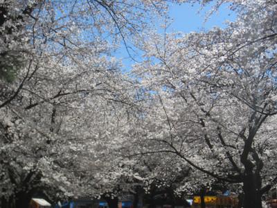 大宮公園 桜満開!