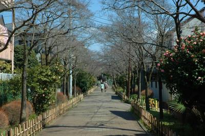 ハナミズキ遊歩道の花水木開花状況-1