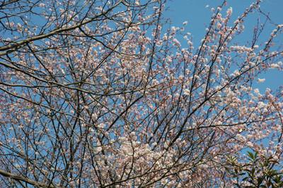 ハナミズキ遊歩道の花水木開花状況-2