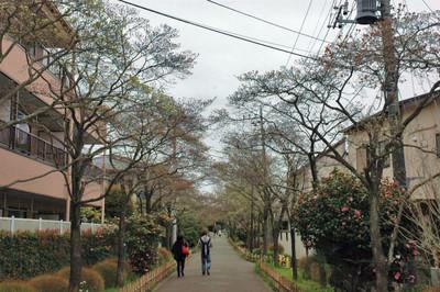 ハナミズキ遊歩道の花水木開花状況-3