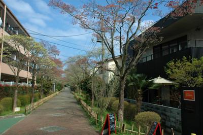 ハナミズキ遊歩道の花水木開花状況-4