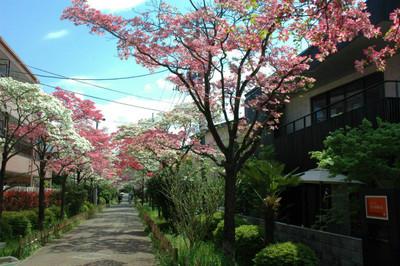 ハナミズキ遊歩道の花水木開花状況-5 ラスト